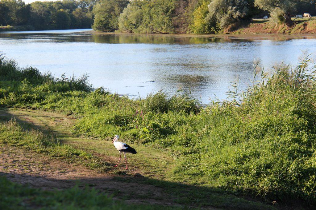 Une cygogne sur le bord de Saône