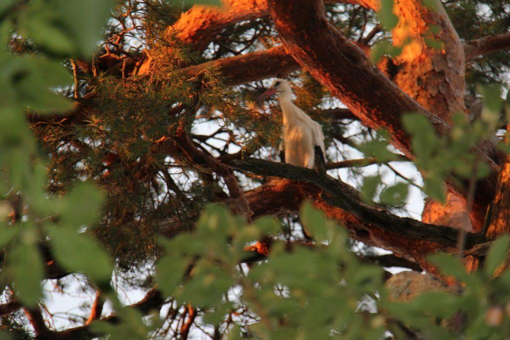 12 août  2020 – Pause des cigognes à Pagny la ville